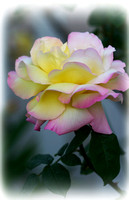 Soft Yellow Rose